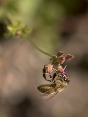Acrobat (Jan.Timmons) Tags: bee flower acrobaticbee hanging stickypad holdstill jantimmons pacificnorthwest westernhoneybee notthequeen flyinginsect pollination