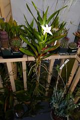 Angraecum sororium species orchid, 2nd bloom 7-16* (nolehace) Tags: angraecum sororium species orchid 716 white fragrant summer nolehace sanfrancisco fz1000 flower bloom plant