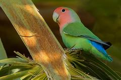 Rosy-faced Lovebird (Agapornis roseicollis) - Phoenix, AZ (bcbirdergirl) Tags: encantopark arizona phoenix usa rosyfacedlovebird lovebirds rosycollared lovebird palmtree peachfacedlovebird cute agapornisroseicollis parrot rosycollaredlovebird