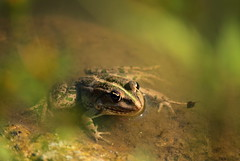 green beauty (zool18) Tags: macro mark2 amazing summer home animal frog green water canon color nature ukraine outdoor travels foto