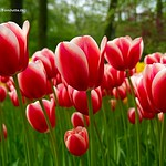 Dutch Tulips, Keukenhof Gardens, Holland - 0775 thumbnail