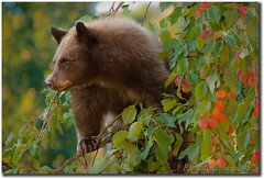 The Orphan (Robin-Wilson-Off) Tags: autumn cub colorado wildlife orphan aspen snowmass blackbear crabapples thegaze snowmassvillage pitkincounty sheatealot shemadeamess thepokolodilodge