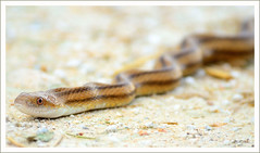 Pretty Yellow Rat Snake (thedaner) Tags: road wild animal yellow island nikon rat florida reptile snake stripes wildlife stripe national striped rd merritt refuge nwr biolab colubrid colubridae squamata merrittislandnationalwildliferefuge yellowratsnake minwr elapheobsoletaquadrivittata d7000