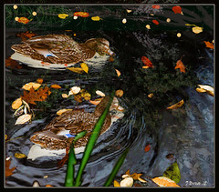Two Dark Water Autumn Ducks. Explore Oct 16, 2012 #465 (Tim Noonan) Tags: autumn brown white black colour texture water leaves digital photoshop reeds dark grey pond sunday ducks brush explore your enjoy mosca hypothetical tistheseason vividimagination artdigital greenscene shockofthenew stickybeak newreality sharingart maxfudge awardtree maxfudgeawardandexcellencegroup exoticimage digitalartscene netartii vividnationexcellencegroup