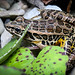 "Pickerel Frog (Rana palustris) - identifying dorsal markings visible • <a style=""font-size:0.8em;"" href=""http://www.flickr.com/photos/39798370@N00/8098795356/"" target=""_blank"">View on Flickr</a>"