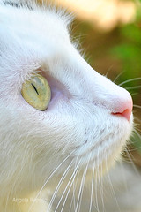 151 YOKO'S EYE (Angela Raposo) Tags: pet macro eye nature animal yellow cat natureza gata yoko macrophotography animaldomstico macronature