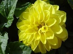 Yellow Explore #101  Thank you! (Gartenzauber) Tags: explore doublefantasy floralfantasy thegalaxy masterphotos naturallymagnificent fleursetpaysages hennysgardens itsallaboutflowers
