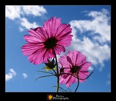 Cosmos I (Focx Photography) Tags: autumn flower colour japan sapporo hokkaido purple olympus cosmos コスモス em5 takinosuzuranpark