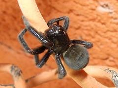 Desidae>Badumna insignis Black House Spider DSCF1678 (Bill & Mark Bell) Tags: exmouth westernaustralia australia geo:town=exmouth geo:state=westernaustralia geo:country=australia geo:lon=11425453egeolat2217752sgeoalt8m 11425453e2217752salt8m taxonomy:kingdom=animalia animalia taxonomy:phylum=arthropoda arthropoda taxonomy:class=arachnida arachnida taxonomy:order=araneae araneae taxonomy:family=desidae desidae taxonomy:genus=badumna badumna insignis taxonomybinomialnamebadumnainsignis badumnainsignis taxonomycommonnameblackhousespider blackhousespider spider animal fauna