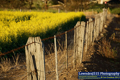 Canola and Fence (LowndesJ515) Tags: sunset fence jung dusk barbedwire farmer canola grainbelt canolafield westernvictoria