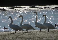 Sunlight and swans (janepar) Tags: winter birds coast swan wildlife estuary swans devon tidal southhams southdevon avetongifford aveton tidalroad
