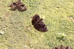 Blurred Bentwing, Ebrietas evanidus (Birdernaturalist) Tags: matogrosso cristalino hesperiidae pyrginae cristalinojunglelodge richhoyer erynnini