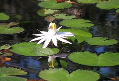 White water lily + (katka.szabo) Tags: light shadow white lake nature reflections hungary waterlily bee termszet hvz t kns fny fehr rnyk tkrkp vizililiom mhecske katkatof