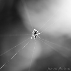 Spinster (Brandon Blackburn) Tags: california santa b bw white black macro thread strand canon garden eos rebel spider focus university village bokeh web spin grain roots brandon silk center quad line sharp blackburn pica cruz 28 60mm bb noise efs ucsc radial t3i the spinster foundational blinkagain blackburnbrandon brandonblackburn