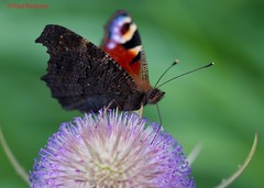 Peacock, Somerton, Somerset (predman69) Tags: red brown colour macro green butterfly purple thistle peacock somerset somerton elementsorganizer