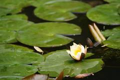 Water lily (ddsnet) Tags: travel plant flower waterlily sony taiwan    taoyuan aquaticplants 900         lily water    900 nymphaeatetragona    nymphaea plants aquatic nymphaea tetragona 851  tetragona