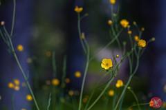 Meadow flowers (Lake Louise, AB) (Kasia Sokulska (KasiaBasic)) Tags: wild canada flower macro nationalpark alberta banff rockymountains lakelouise