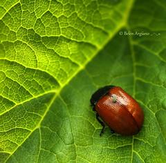 Dos por uno.... (.... belargcastel ....) Tags: red espaa macro verde green hoja canon spain rojo galicia escarabajo insecto pulgn belargcastel belnargeso