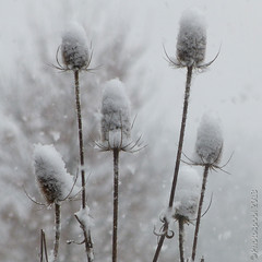Teasels in the snow (Photospool) Tags: snow teasel snowing