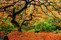 That Famous Maple Tree in Portland Japanese Garden - Late Fall (Oilfighter) Tags: fall oregon garden portland japanesegarden maple pond or fallfoliage mapletree rosegarden