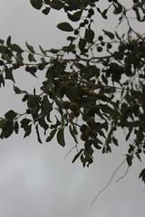 شجرة الكنار