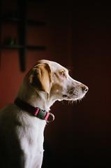 cagnolina (vic pellicier) Tags: fuji vic coonhound 400h pellicier