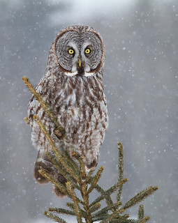 Pine Top, - Great Gray Owl,  Ottawa, Canada