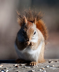American Red Squirrel (kizilod2) Tags: