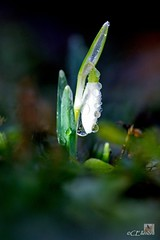 Schneeglckchen im Regen  / snowdrop in the rain - 04.02.2013 - 10:40h (Ellenore56) Tags: light inspiration color colour detail macro reflection water floral rain weather licht photo flora focus wasser foto rainyday blossom magic perspective drop bloom raindrops vista droplet imagination outlook moment february makro blte magical farbe reflexion rainfall flowerpower regen raindrop snowdrop wetter perspektive galanthus februar reflektion wassertropfen tropfen dud regentag augenblick fokus rainday florescence waterdroplet galanthusnivalis schneeglckchen regentropfen trpfchen faszination intherain bltenzauber pflanzenwelt amaryllisgewchs lichtmessglckchen milkflower sonya350 milchblume hbschesfebruarmdchen weisejungfrau ellenore56 frhlingsglckchen 04022013 lichtmessglocke schneeglckchenimregen snowdropintherain