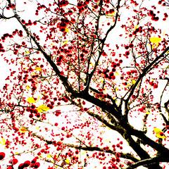 Red Berries V (wide-angle.de) Tags: treesii de germany digital y201602