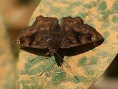 Macarius Tufted-Skipper (Nisoniades macarius) (berniedup) Tags: butterfly skipper pantanal pocon hesperiidae transpantaneira pyrginae macariustuftedskipper taxonomy:binomial=nisoniadesmacarius nisoniadesmacarius