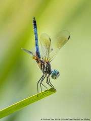 Tail Up (P7240130) (Michael.Lee.Pics.NYC) Tags: newyork nybg newyorkbotanicalgarden dragonfly bluedasher male insect perch handstand bokeh lily pool olympus em5 markii mkii lumix100300mm