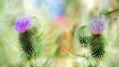 thistle (augustynbatko) Tags: thistle flower flowers nature wildflowers meadow scrub summer