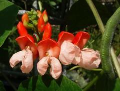 Red is for Heatwave. Phaseolus coccineus, Runner Bean, Hortus Botanicus, Amsterdam, The Netherlands (Rana Pipiens) Tags: heatwaveof2016 heatwaveof16351639france johannessnippendaal jacquesphiippecornut runnerbean phaseolusindicusflorecoccineospuniceo phaseoluscoccineus bean garland ladiesofparis punicred