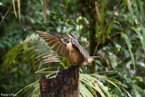 Displaying Riflebird