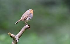 A LITTLE BEAUTY By Angela Wilson (angelawilson2222) Tags: songbird robin red branch potrait clumber park nottingham national trust depth field