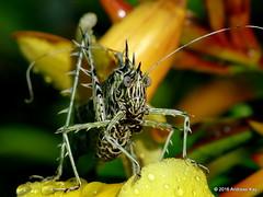 Markia hystrix or arizae? (Ecuador Megadiverso) Tags: allamanda book flickr grasshopper katydid lichenkatydid loscedros markiahystrix noah orthoptera phaneropterinae tettigoniidae andreaskay ecuador markiaarizae