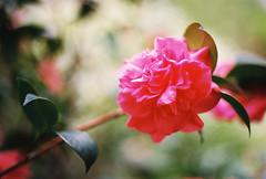Rouge (Katie Tarpey) Tags: flower red soft petals depthoffield film 35mm kodak kodakgold400 nikonfm10 nikkor50mm14 winter melbourne plant leaves bush nature