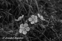 Geraniums in black and white (Bernsteindrache7) Tags: summer spring sony alpha 100 flora fauna flower bloom blossom blume park
