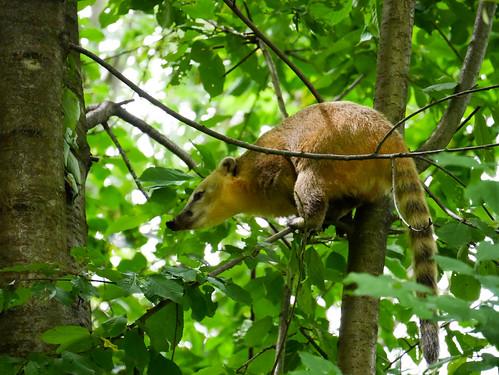 Tierpark Herberstein - Südamerikanischer Nasenbär