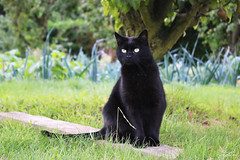 Nicky (Mariie76) Tags: animaux chat flin europen noir petite mini panthre nature verdure