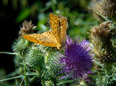 (Lszl Modori) Tags: nature hungary wood forest plant plants flower flowers bug butterfly brzsny magyarorszg