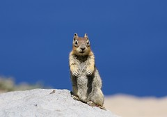 Golden-mantled Ground Squirrel (Callospermophilus lateralis) (Camden S. Bruner) Tags: craterlakenationalpark klamathcounty or oregon goldenmantledgroundsquirrel callospermophiluslateralis