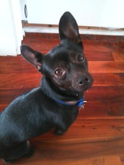 Joby (Ryan Good) Tags: joby chihuahua terrier mutt rescue littlebuddy
