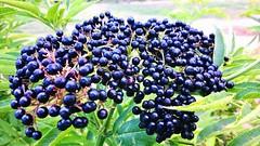 DSC-0002.. Du caviar!!!  ;D [in explore] (Isa****) Tags: plante caviar nature campagne