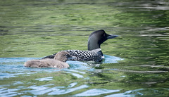 Mama and baby loon8 (rogue0075) Tags: bluesea cottage