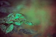 (Verlgof) Tags: autumn leaves macro bokeh helios fujifilm