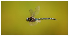 Dragonfly in flight (Barbara Zemann) Tags: tauplitz styria libelle dragonfly
