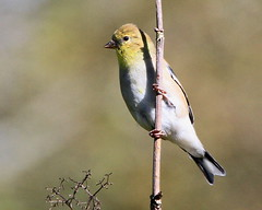 Within a summer moment... :) (Paridae) Tags: goldfinch lookout juvenileamericangoldfinch americangoldfinch finch carduelistristis familyfringillidae featheredfriends thingswithwings birdsofafeather afewofmyfavouritethings canoneos7d birdsofcampbellvalleypark birdsofbritishcolumbia