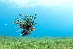 Flight over the garden... (Tahiticed) Tags: pterois volitans poisson lion lionfish martinique carabe sea grass